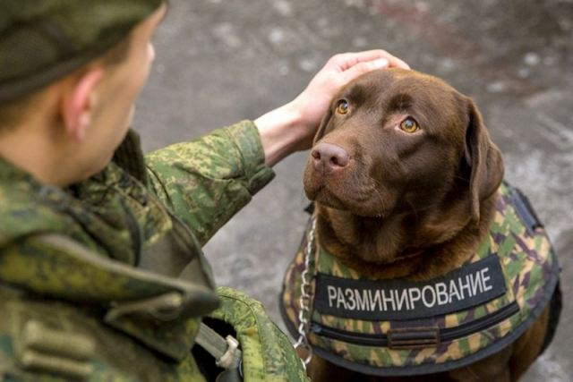 More than 400 military dog handlers with theirs war dogs will join the ranks of the Armed Forces of Russia. This was reported to journalists at the Ministry of Defense of Russia.